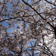 今年の桜(長津川緑地)